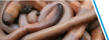 Dauwwormen 10/12/20/30/40 of 1000 stuks